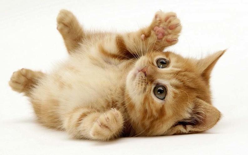 Породы домашних кошек