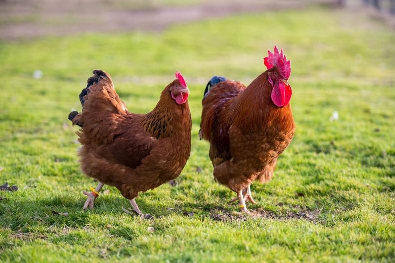Оборудование для птицеводства – основные виды