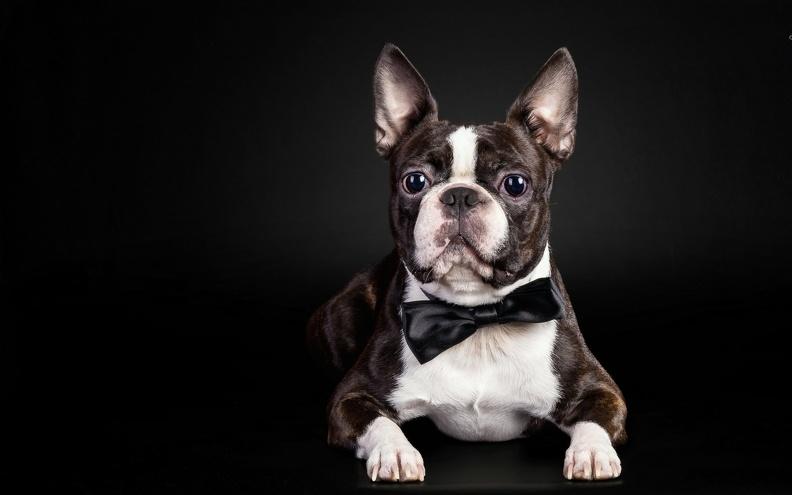 Как правильно выбрать щенка французского бульдога