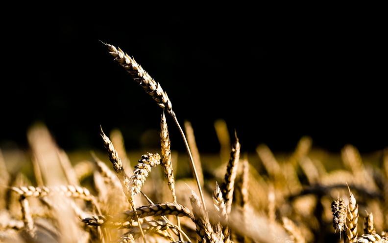 Сорта и виды пшеницы